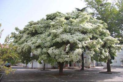 江苏省宿迁市沭阳县流苏树 流苏种子一百元一斤