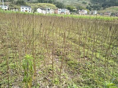 这是一张关于锦绣黄桃苗 1~1.5米 的产品图片