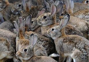 这是一张关于野兔 1-3斤 的产品图片