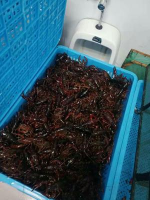 这是一张关于清水小龙虾 4-6钱 人工殖养 的产品图片