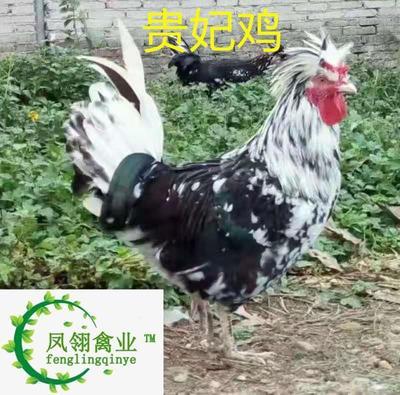 这是一张关于贵妃鸡苗 的产品图片