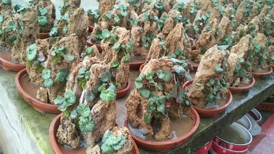 这是一张关于水石榕 的产品图片