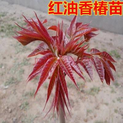 红油香椿苗 2公分以下
