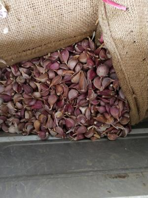 这是一张关于大蒜种子 95%以上 的产品图片