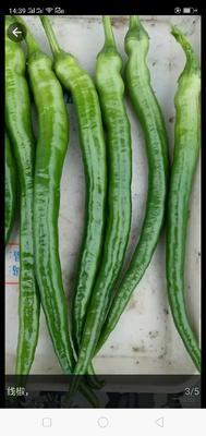 这是一张关于线椒 15~20cm 中辣 靑色 的产品图片