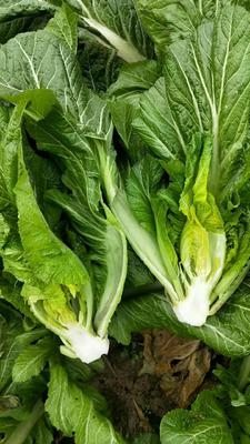 这是一张关于长叶芥菜 的产品图片
