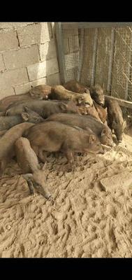 山东省菏泽市郓城县特种野猪 统货 20-30斤