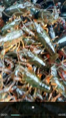 这是一张关于盱眙小龙虾 4-6钱 人工殖养 的产品图片