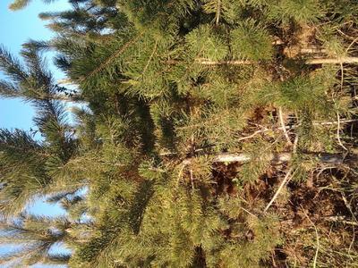 内蒙古自治区鄂尔多斯市达拉特旗樟子松  2-3米看清楚价格