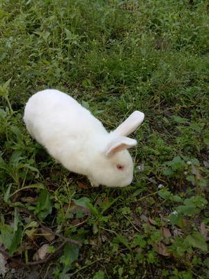 广东省广州市从化区肉兔 3-5斤