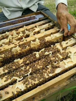 广东省茂名市信宜市中华蜜蜂