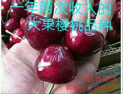 玛瑙红樱桃树苗 大果樱桃 已经挂果