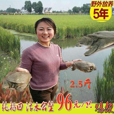 浙江省嘉兴市海盐县野生甲鱼  2.5斤稻田甲鱼