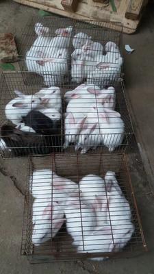 广东省茂名市信宜市中国白兔 1斤以下