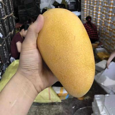 海南大金煌芒果水仙芒 8斤超新鲜大果包邮