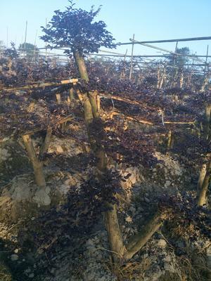 湖南省株洲市荷塘区造型红继木桩