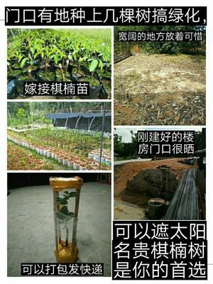 广东省茂名市电白区奇楠沉香树