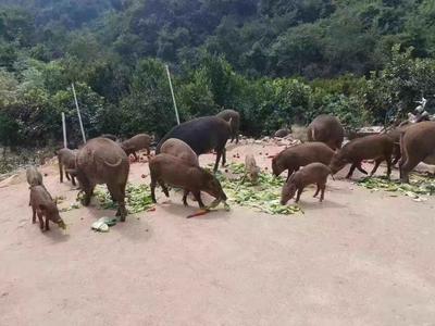 江西省南昌市湾里区商品野猪 统货 120斤以上