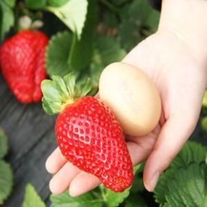 妙香7号草莓苗 20~30公分 地栽苗 山东农业大学基地直供,品种保证