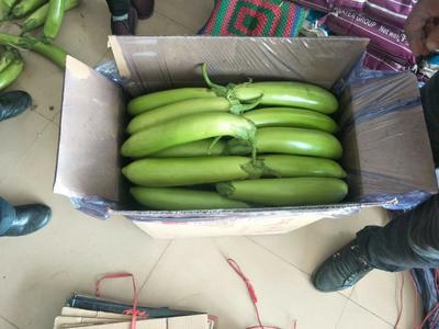 辽宁省锦州市北镇市绿长茄 20~30cm 长茄