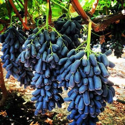 蓝宝石葡萄苗 品种纯正 假一赔十