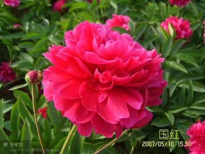 山东省菏泽市牡丹区多花芍药 0.5米以下 2cm以下