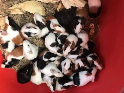 山东省潍坊市潍城区熊猫兔  1斤以下 宠物兔,各种仓鼠批发