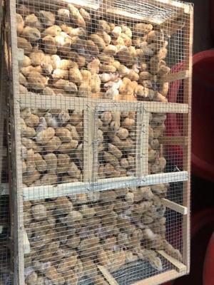 山东省潍坊市潍城区熊猫兔 1-3斤 宠物兔,各种仓鼠批发