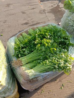 安徽省合肥市包河区香芹 40~45cm 0.5~1.0斤 大棚种植