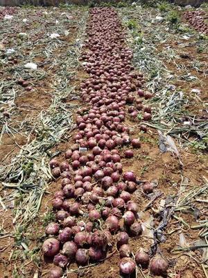 云南省红河哈尼族彝族自治州弥勒市紫皮洋葱 混装通货