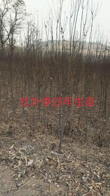 陕西省宝鸡市扶风县红叶李