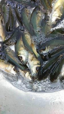 贵州省遵义市遵义县裸鲤 人工养殖 0.05公斤