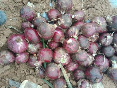 云南省昆明市呈贡区紫皮洋葱 7cm以下