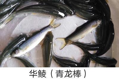 重庆潼南县华鲮 0.05公斤 人工养殖