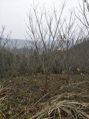 湖北省襄阳市襄州区 日本早樱 3.5米~5米 8~10公分
