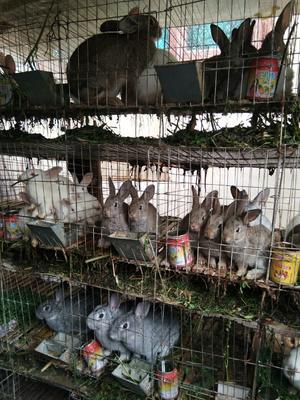 贵州省安顺市镇宁布依族苗族自治县肉兔 5斤以上