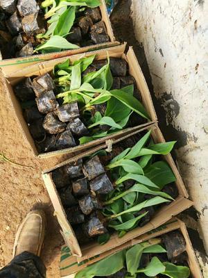 山东省潍坊市青州市黄花美人蕉 20cm以上 0.5米以下