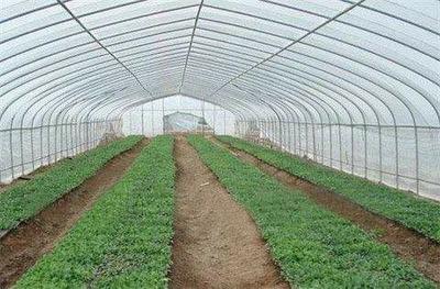 河南省洛阳市洛龙区小叶香菜 25~30cm