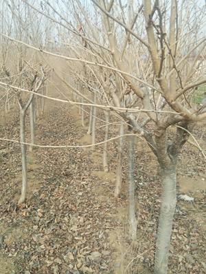 山东省临沂市平邑县变色樱和绿樱 1.5~2米 6~8公分