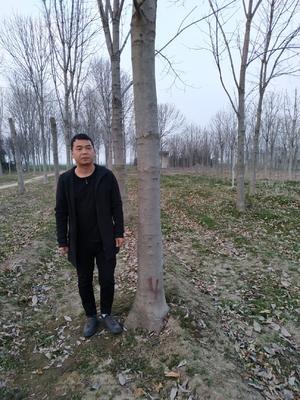 陕西省西安市周至县七叶树