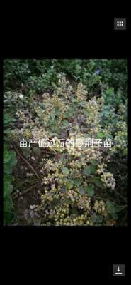 这是一张关于蔓荆子苗 的产品图片