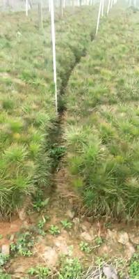 湖南省怀化市通道侗族自治县湿地松容器苗