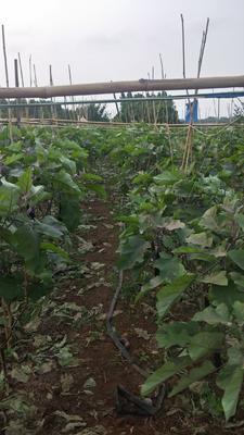 广东省湛江市徐闻县紫长茄 30~40cm 长茄