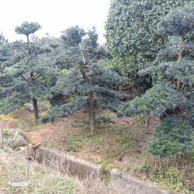 湖南省长沙市浏阳市中叶罗汉松
