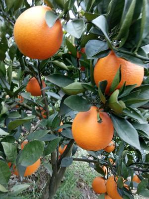 湖北省宜昌市长阳土家族自治县清江伦晚脐橙 60g以下 种植