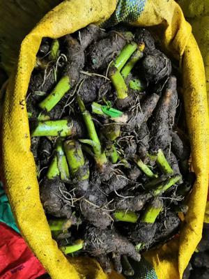广西壮族自治区桂林市荔浦县芋头种子 3cm以上