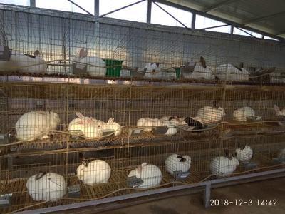 甘肃省陇南市礼县肉兔 1-3斤