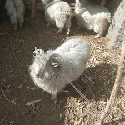 这是一张关于陕北横山山羊羯 30-50斤 的产品图片