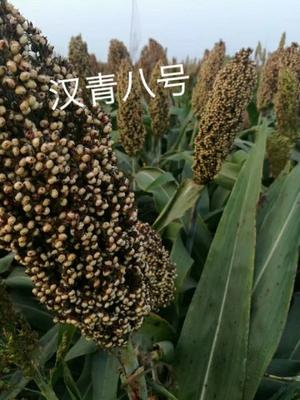 河北省沧州市青县甜高粱种子 杂交种 ≥85%
