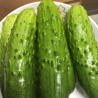 山东省烟台市栖霞市水果黄瓜 15~25cm